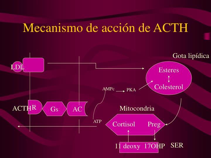 Mecanismo de acción de ACTH