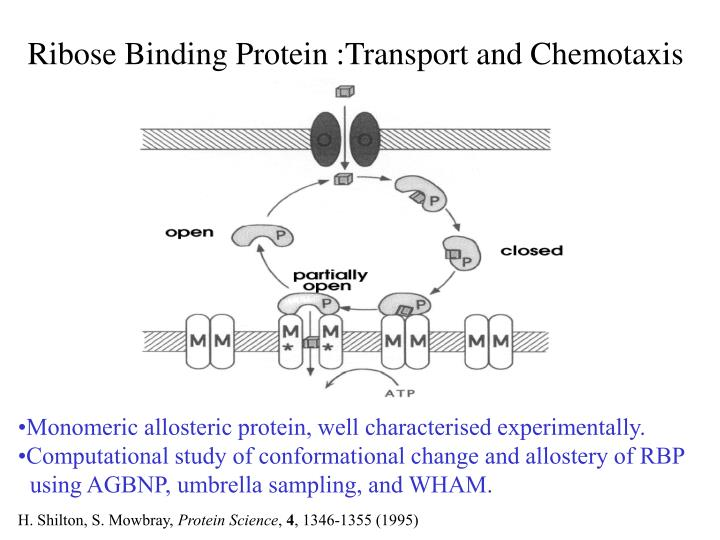 Ribose Binding Protein :Transport and Chemotaxis