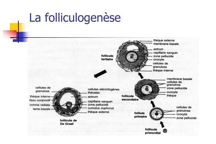La folliculogenèse
