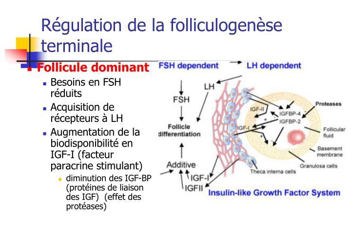 Régulation de la folliculogenèse terminale