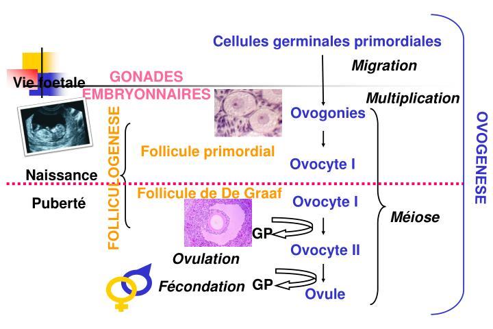 Cellules germinales primordiales