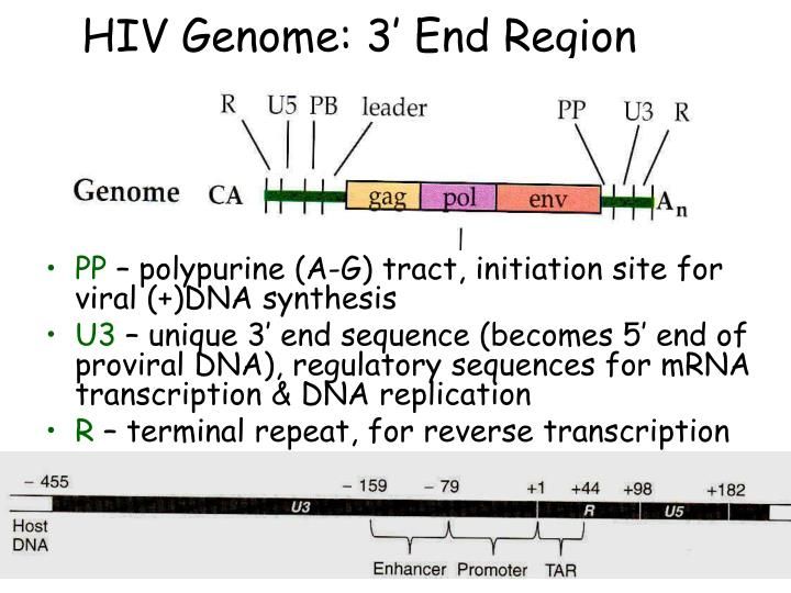 HIV Genome: 3' End Region