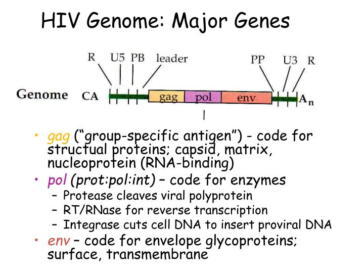 HIV Genome: Major Genes