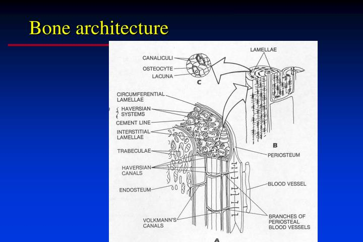 Bone architecture