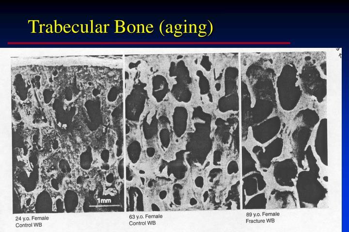 Trabecular Bone (aging)
