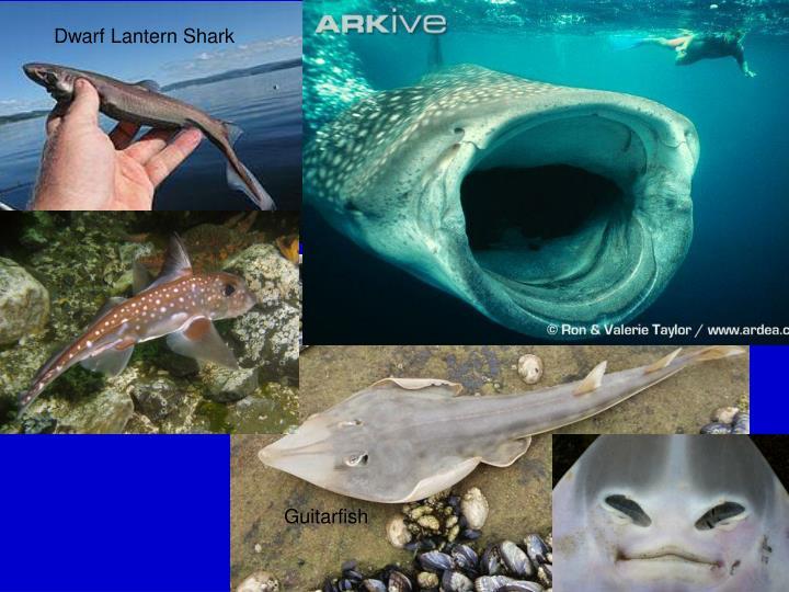Dwarf lantern shark teeth - photo#23