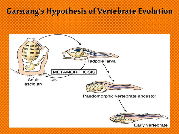 Garstang's Hypothesis of Vertebrate Evolution