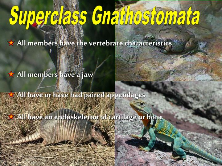 Superclass Gnathostomata