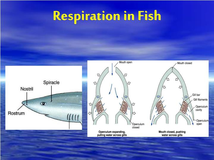 Respiration in Fish
