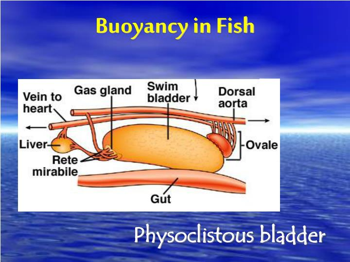 Buoyancy in Fish