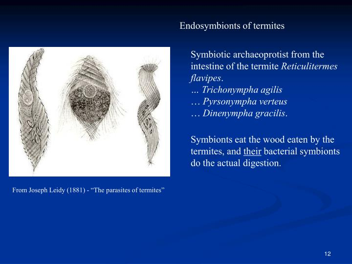 Endosymbionts of termites