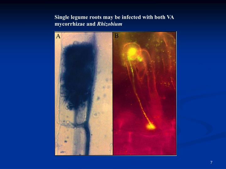 Single legume roots may be infected with both VA mycorrhizae and