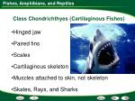 class chondrichthyes cartilaginous fishes