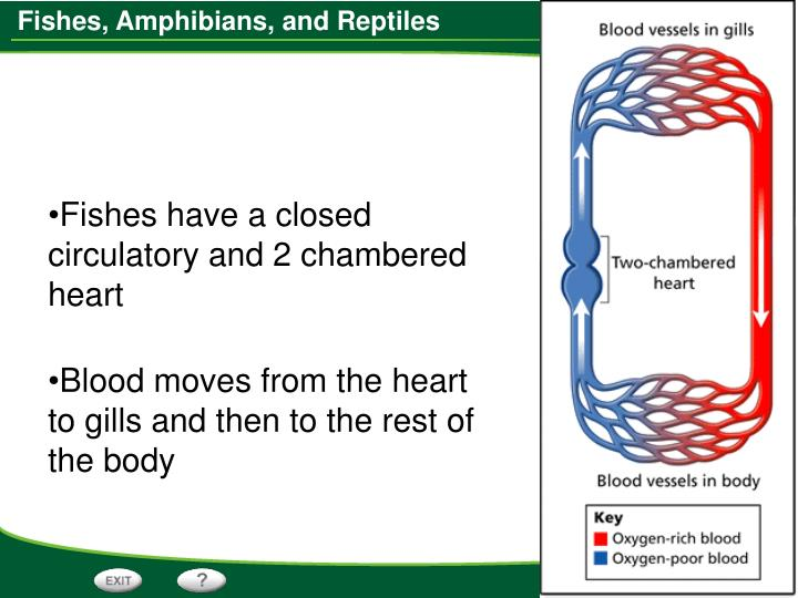 Fishes have a closed circulatory and 2 chambered heart