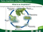 what is an amphibian1