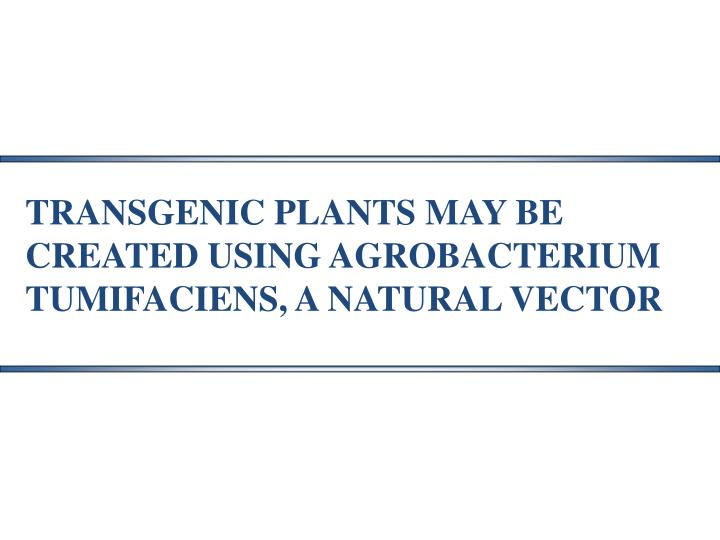 TRANSGENIC PLANTS MAY BE  CREATED USING AGROBACTERIUM  TUMIFACIENS, A NATURAL VECTOR