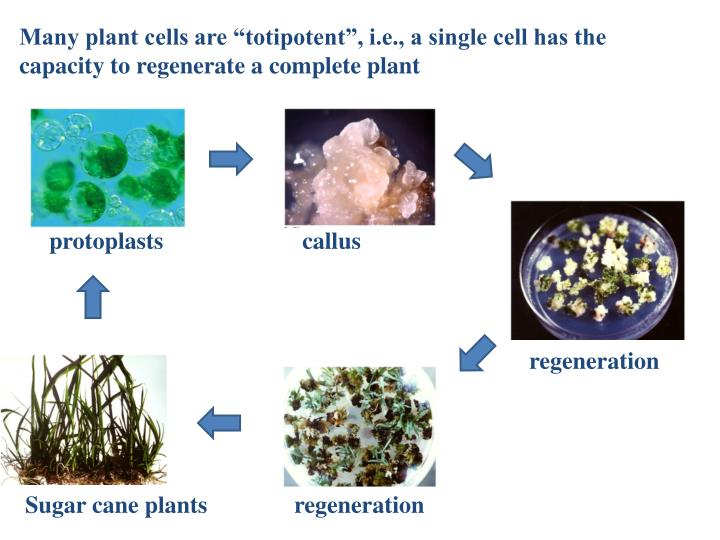 "Many plant cells are ""totipotent"", i.e., a single cell has the capacity to regenerate a complete plant"
