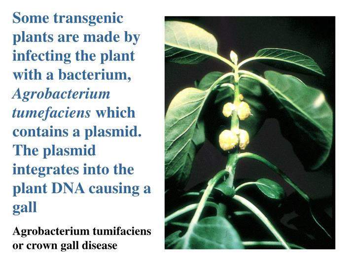 Some transgenic plants are made by infecting the plant with a bacterium,