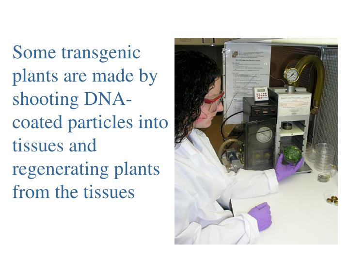 Some transgenic plants are made by shooting DNA-coated particles into tissues and regenerating plants from the tissues