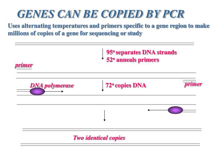 GENES CAN BE COPIED BY PCR