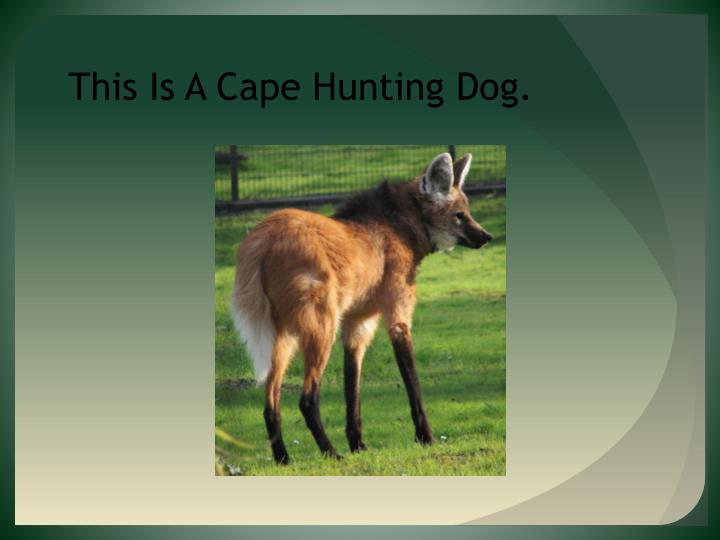 This Is A Cape Hunting Dog.