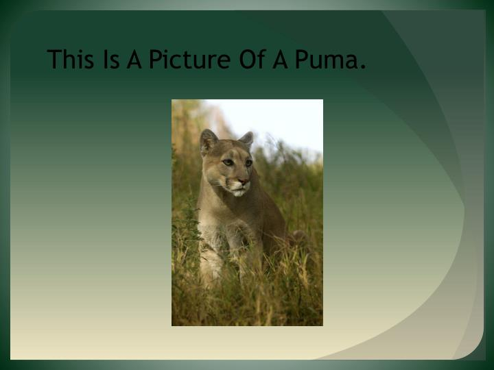 This Is A Picture Of A Puma.