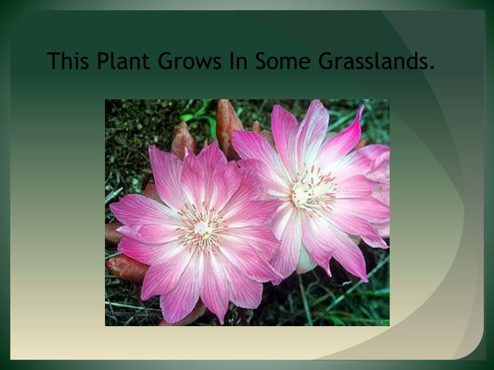 This Plant Grows In Some Grasslands.