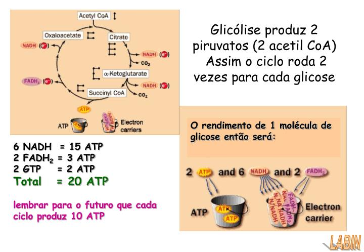 Glicólise produz 2 piruvatos (2 acetil CoA)