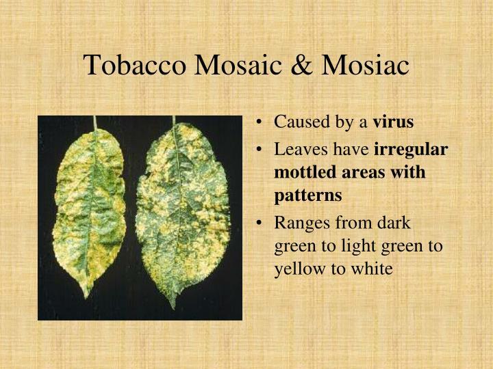 Tobacco Mosaic & Mosiac