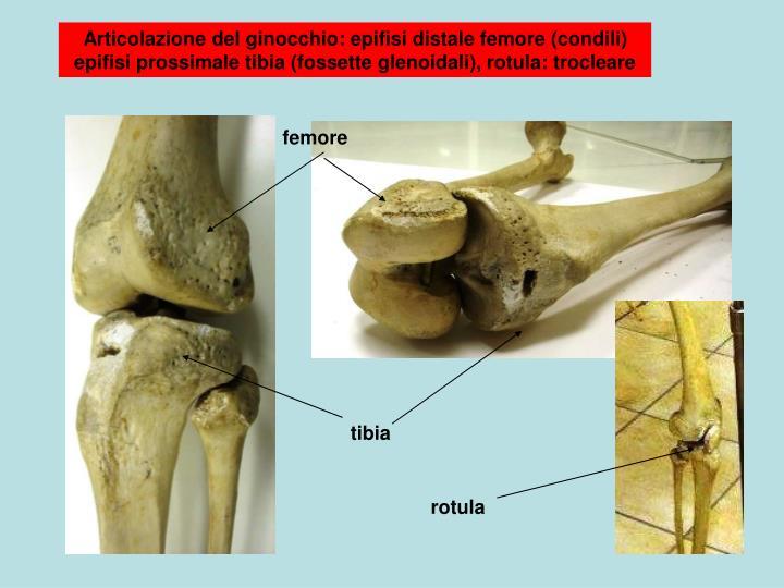 Articolazione del ginocchio: epifisi distale femore (condili)