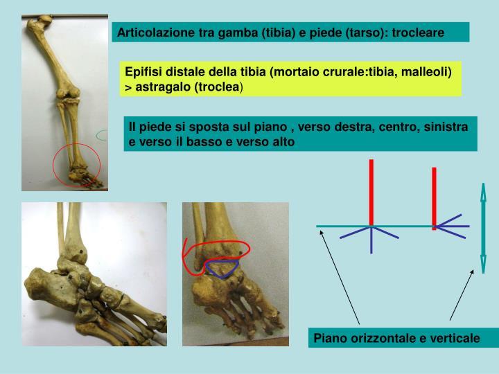 Articolazione tra gamba (tibia) e piede (tarso): trocleare