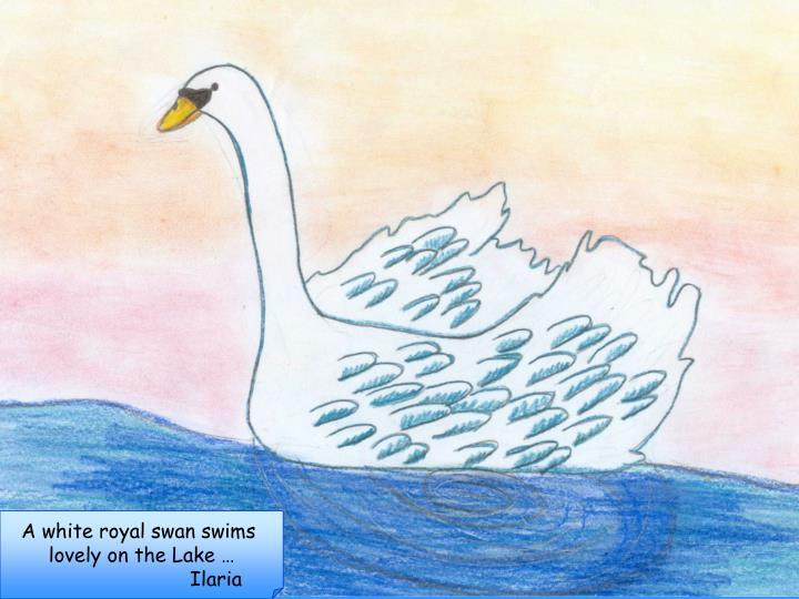 A white royal swan swims