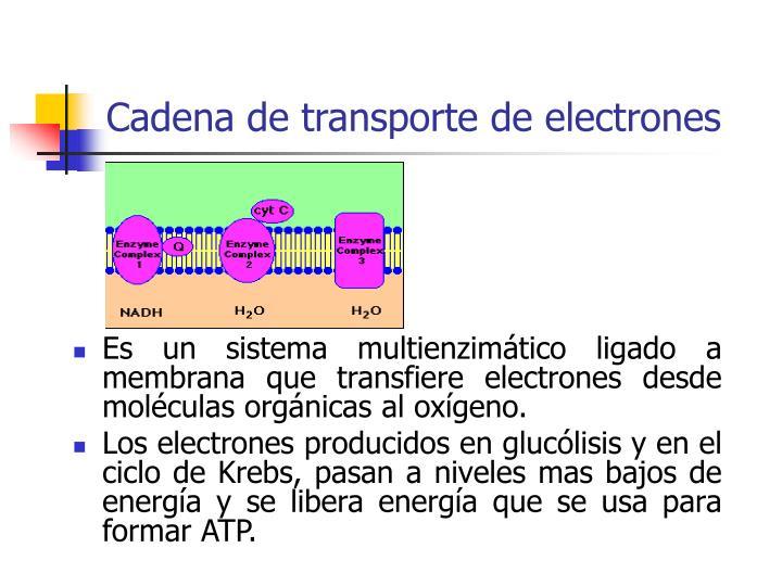 Cadena de transporte de electrones