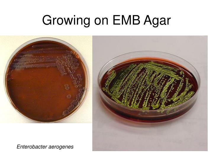 Growing on EMB Agar