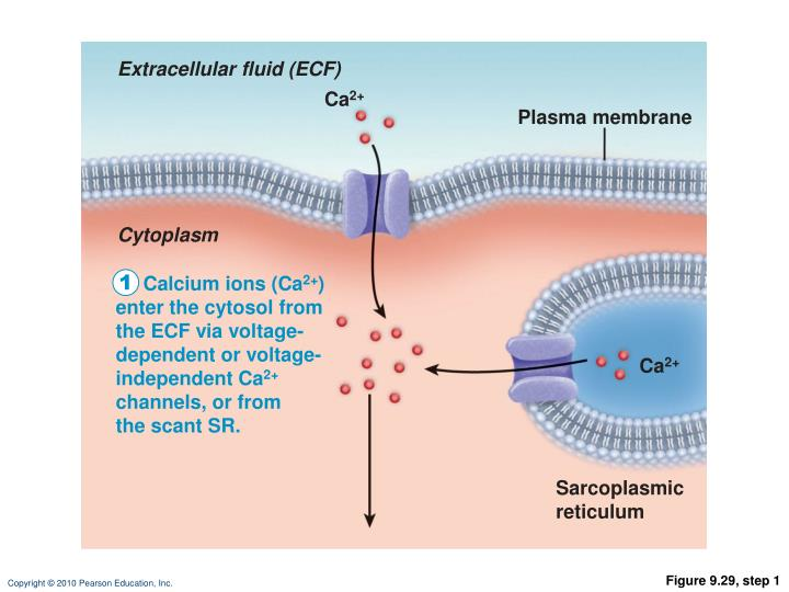 Extracellular fluid (ECF)