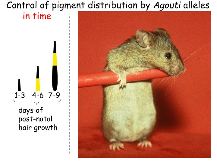 Control of pigment distribution by