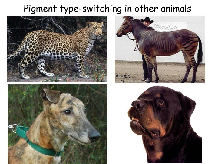 Pigment type-switching in other animals