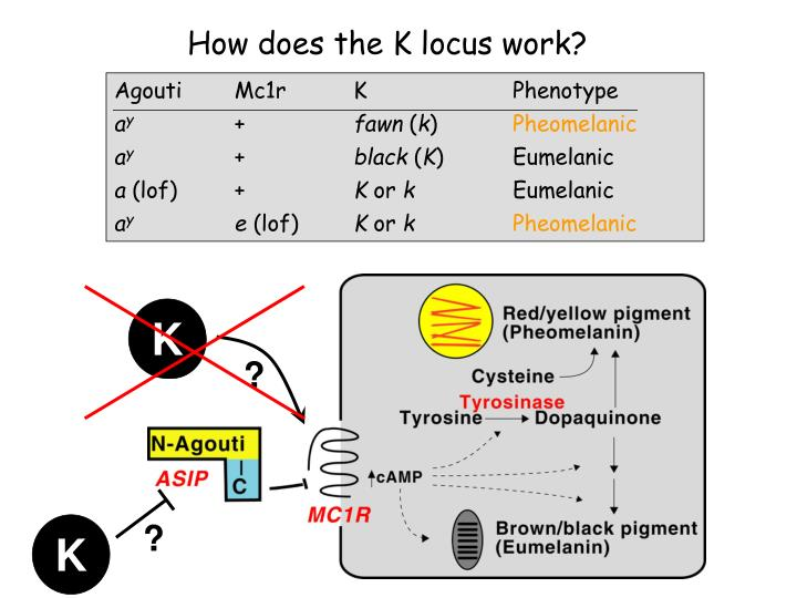 How does the K locus work?