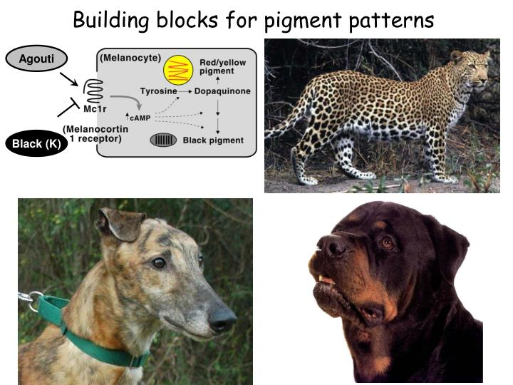 Building blocks for pigment patterns