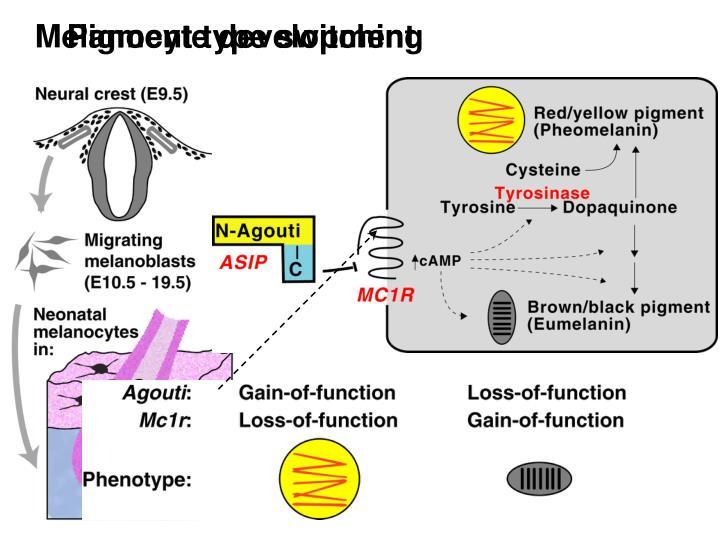 Melanocyte development and biochemistry