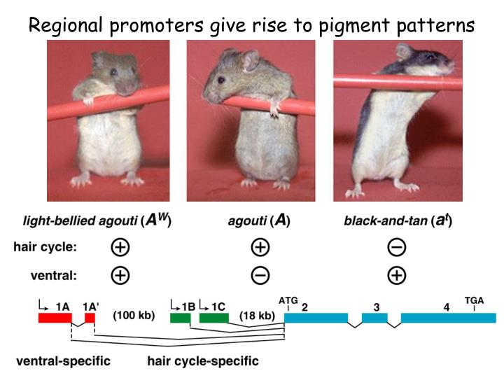 Regional promoters give rise to pigment patterns
