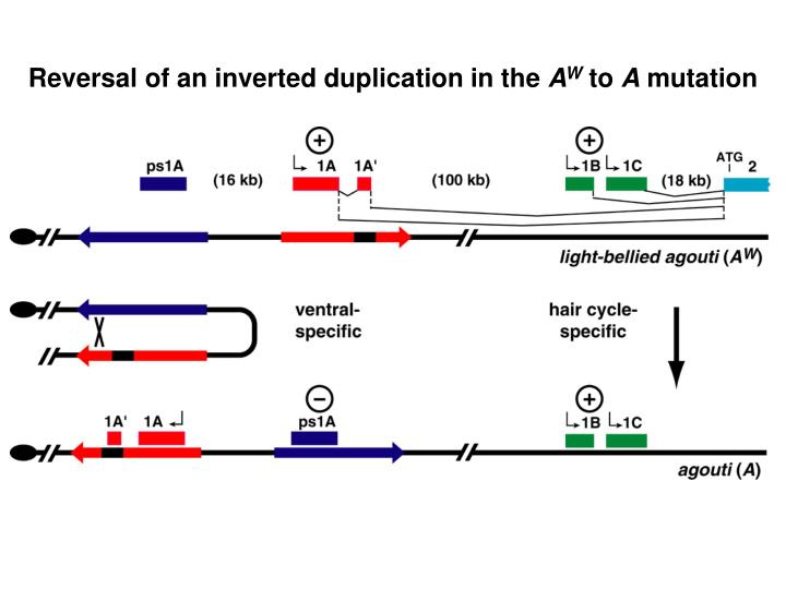 Reversal of an inverted duplication in the