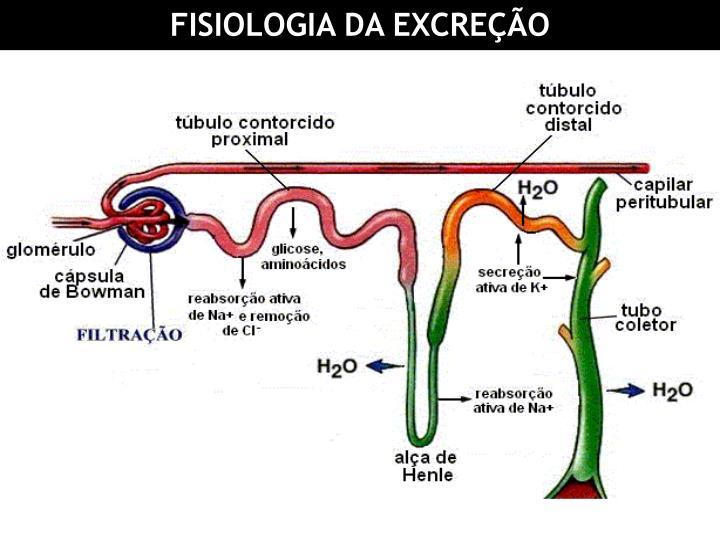 FISIOLOGIA DA EXCREÇÃO