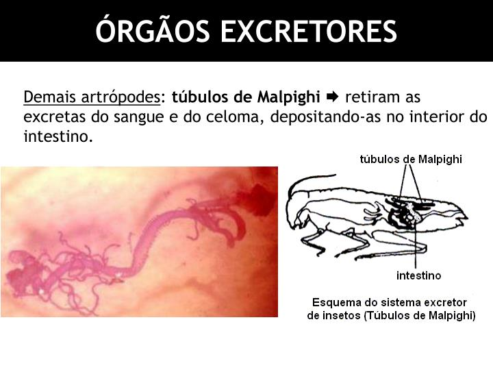 ÓRGÃOS EXCRETORES