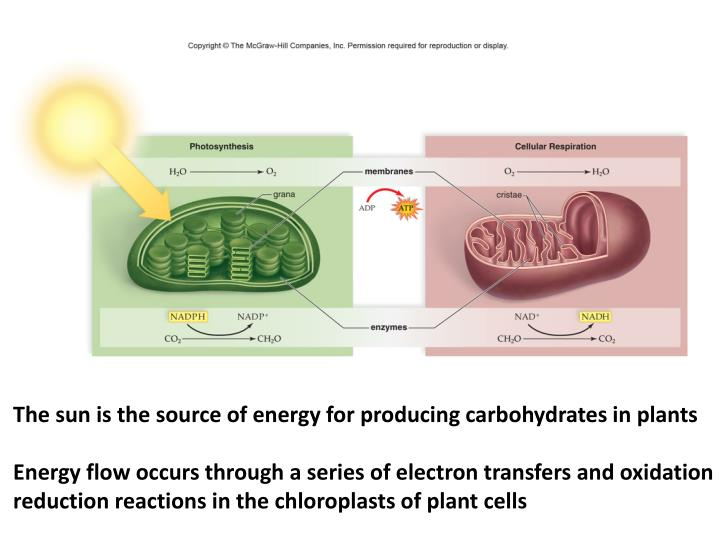 The sun is the source of energy for producing carbohydrates in plants