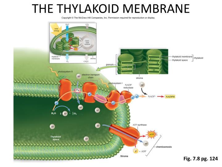 THE THYLAKOID MEMBRANE