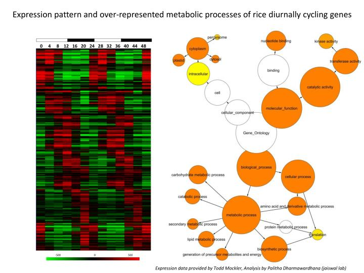 Expression pattern and over-represented metabolic processes of rice diurnally cycling genes
