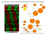 expression pattern and over represented metabolic processes of rice diurnally cycling genes