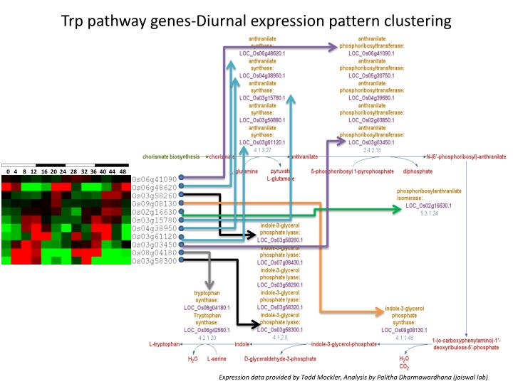 Trp pathway genes-Diurnal expression pattern clustering
