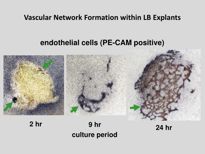 Vascular Network Formation within LB Explants